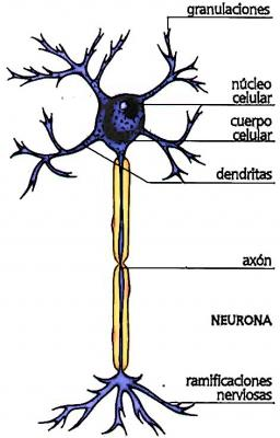 Composición de las neuronas