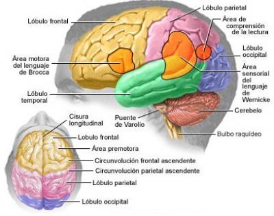 Las áreas cerebrales.